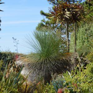 Xanthorrhoea glauca - Asphodelaceae