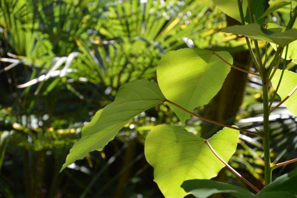 Homalanthus populifolius - Euphorbiaceae
