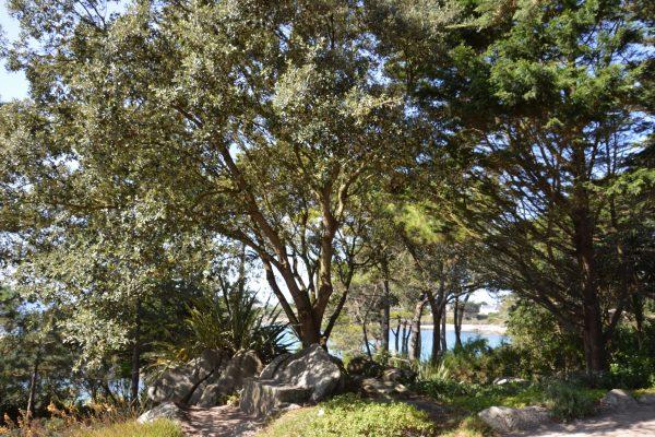 Quercus ilex - Fagaceae