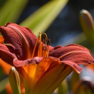 Hemerocallis sp. - Liliaceae