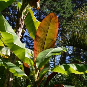 Musa basjoo, Ensete ventricosum 'Maurellii' - Musaceae