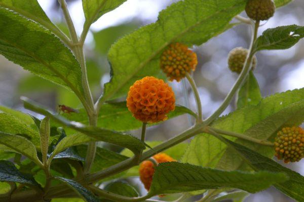 Buddleja globosa- Scrophulariaceae
