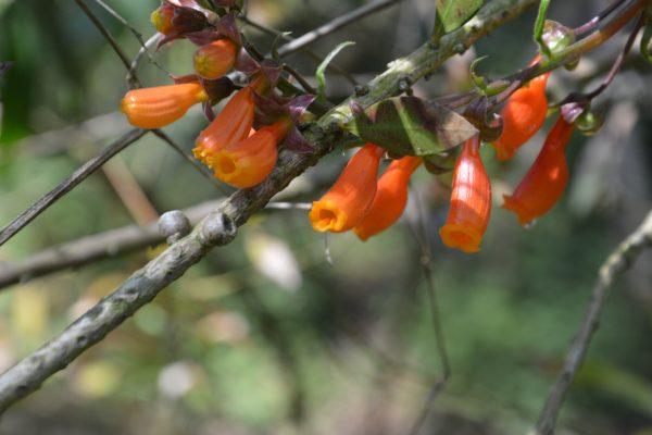 Eccremocarpus scaber - Bignoniaceae